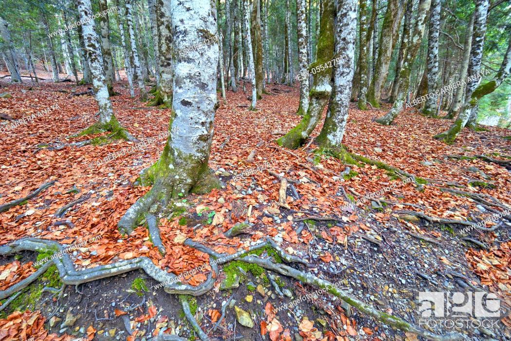 Imagen: Beech Forest, Ordesa Valley, Ordesa y Monte Perdido National Park, UNESCO Biosphere Reserve of Ordesa-Viñamala, Pyrennes, Huesca, Aragón, Spain, Europe.