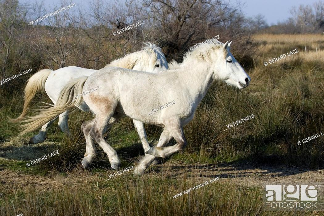 Stock Photo: Camargue Horse, Pair Galloping, Saintes Maries de la Mer in the South East of France.