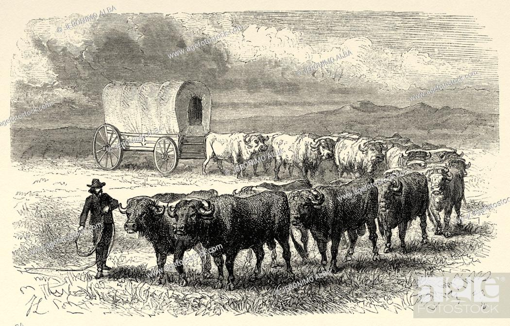 Stock Photo: Cattleman on the Great Plains with his herd, United States of America. Journey to the American far west by Simonin 1867. Old engraving El Mundo en la Mano 1878.
