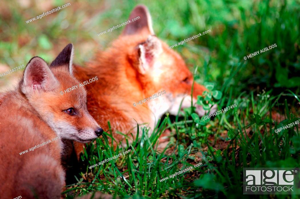 Stock Photo: Red Fox - cub (Vulpes vulpes).