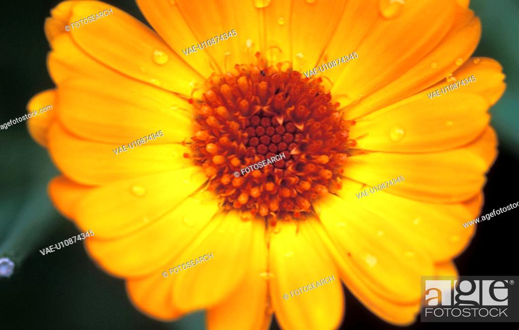 Stock Photo: flora, botany, einzelblume, calf, calendula, flower, austria.