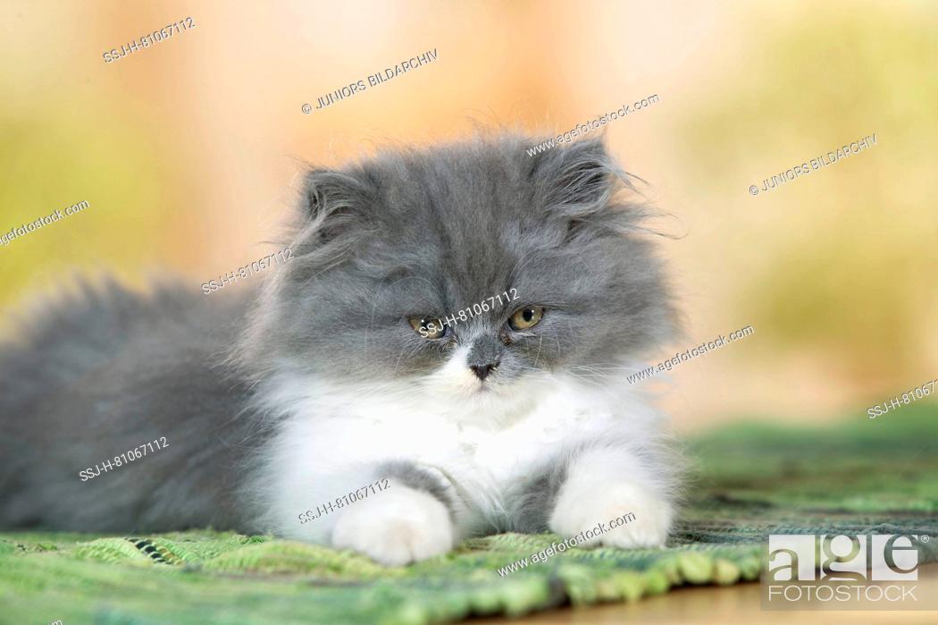 Stock Photo: Persian Cat. Kitten lying on a carpet. Germany.