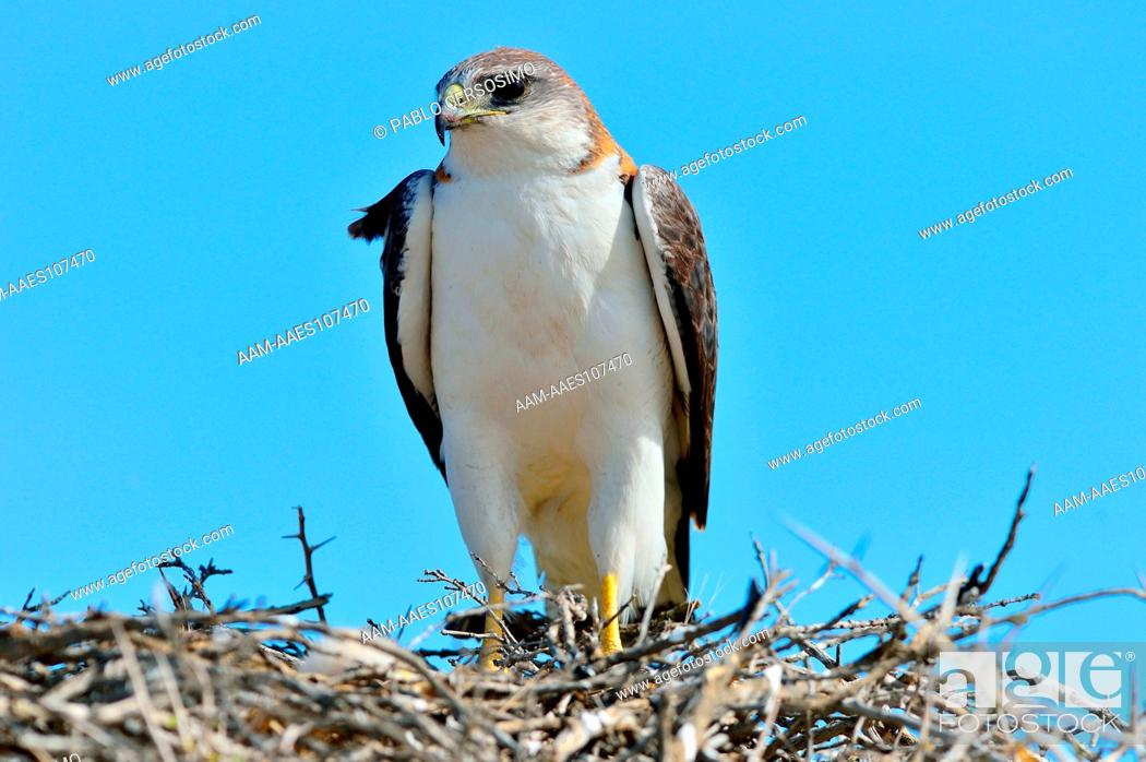 Stock Photo: Bird, Red backed hawk, Buteo Polyosoma, with her chick on the nest, Peninsula Valdes, Patagonia, Argentina, South America.