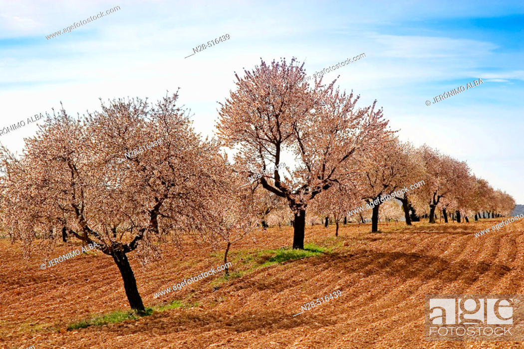 Stock Photo: Almond trees. Murcia province. Spain.
