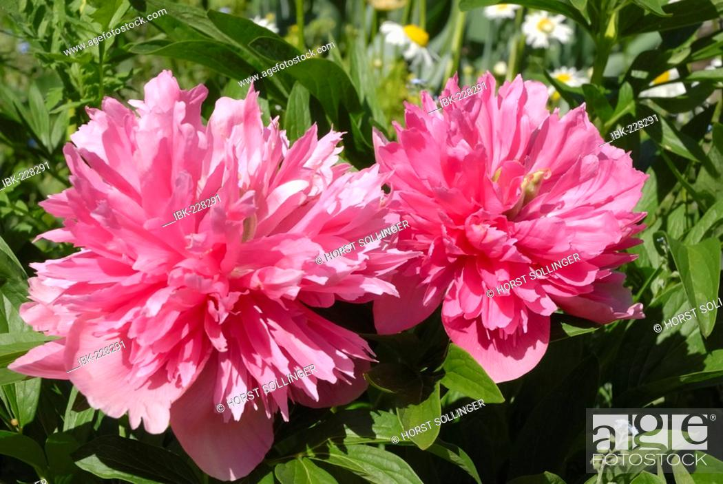 Stock Photo: Pink flowers of paeonia officinalis, cultivated filled form, Paeoniaceae.