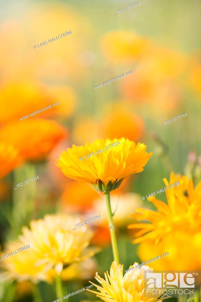 Stock Photo: Close up of yellow Marigold flower (Calendula officinalis).