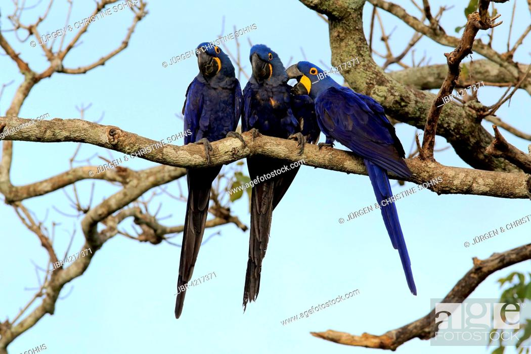 Stock Photo: Hyacinth macaw (Anodorhynchus hyacinthinus), adult, group, in a tree, Pantanal, Mato Grosso, Brazil.