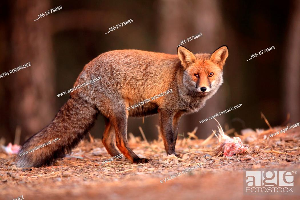 Stock Photo: one-eye fox (Vulpes vulpes) in Sierra Morena. Córdoba.