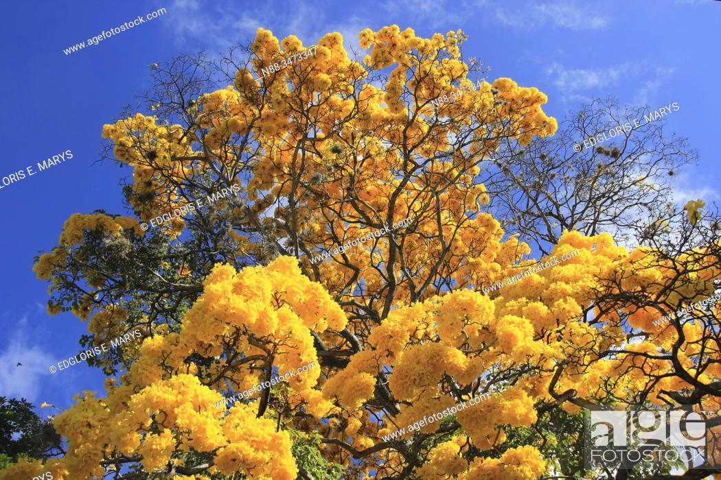 Stock Photo: Yellow blossom in spring Tabebuia chrysantha or Araguaney the National tree of Venezuela an emblematic native species of extraordinary beauty.
