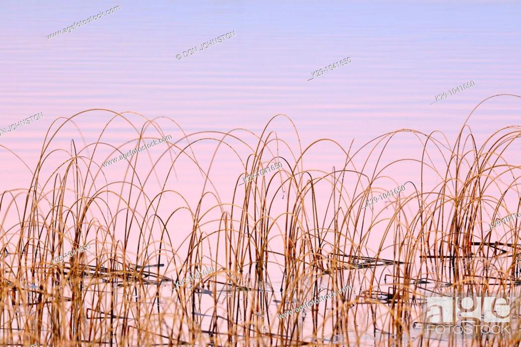 Stock Photo: Bulrush colony in Clear Lake.
