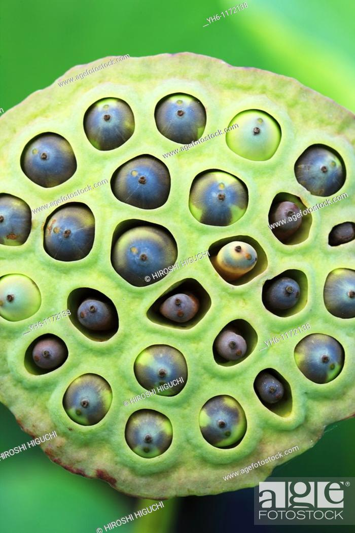Stock Photo: Lotus seed pod with seeds, Japan, Fukushima Prefecture, Fukushima.