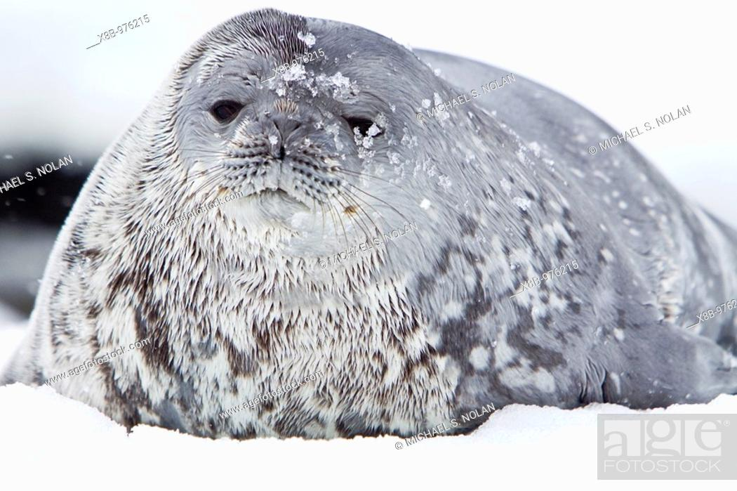 Stock Photo: Weddell Seal Leptonychotes weddellii hauled out on ice near the Antarctic Peninsula, southern Ocean  This is the most southerly breeding seal in the world.