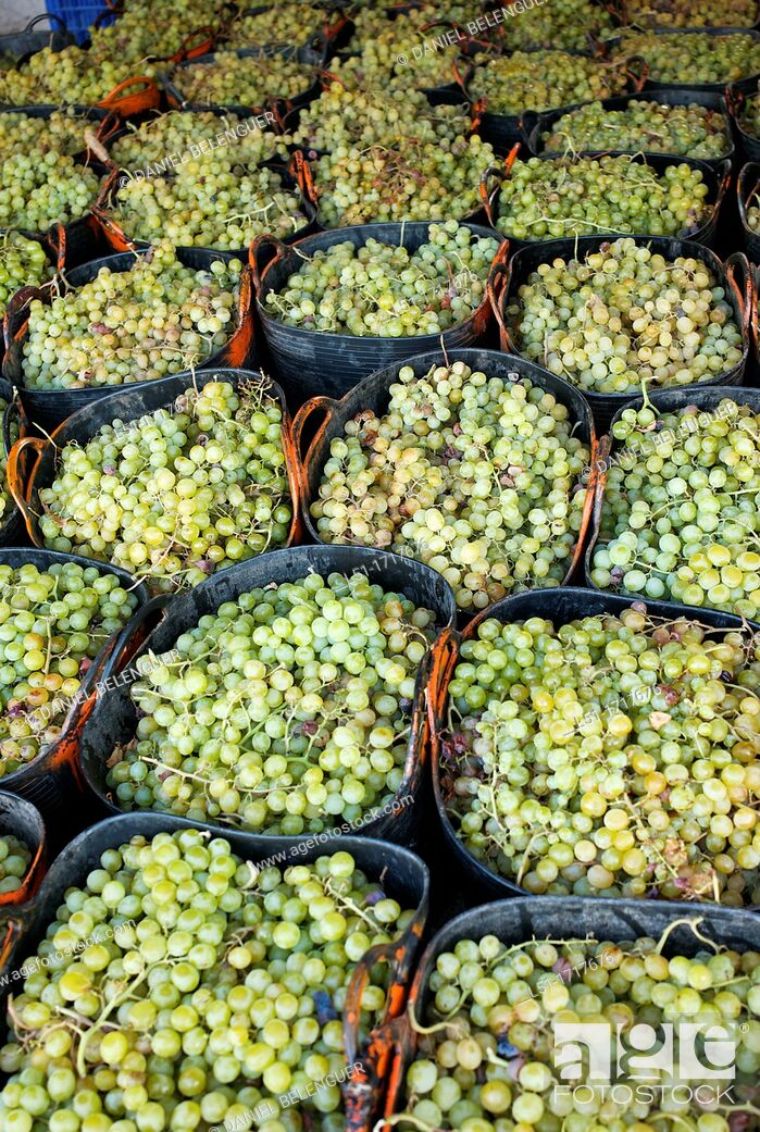 Stock Photo: Moscatel grapes in baskets before drying, Lliber, Alicante, Spain.
