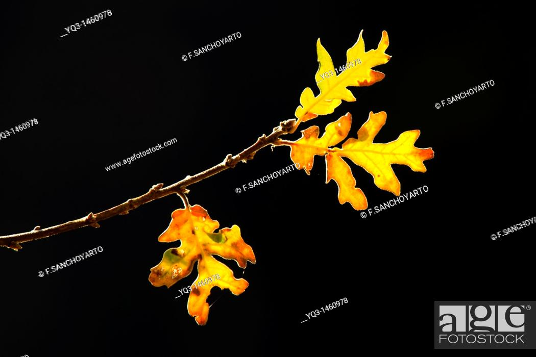 Stock Photo: Oak leaves at sunrise in autumn.