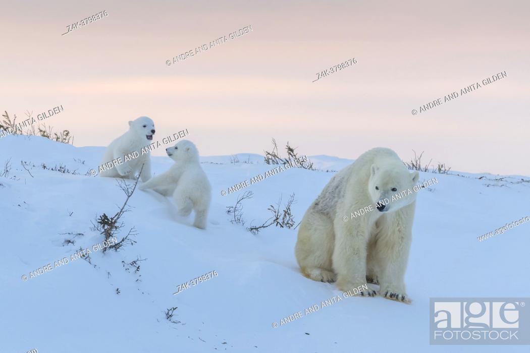 Imagen: Polar bear mother (Ursus maritimus) with two playing new born cubs, at sunset, Wapusk National Park, Manitoba, Canada.