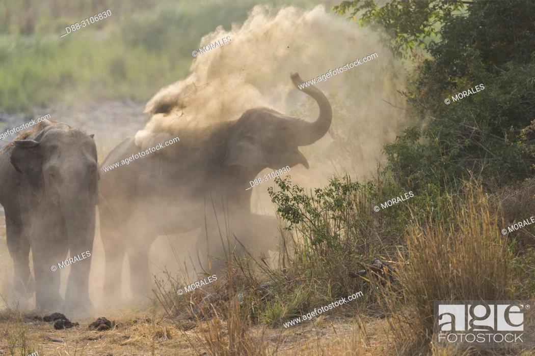 Stock Photo: Asia, India, Uttarakhand, Jim Corbett National Park, Asian or Asiatic elephant (Elephas maximus), dust bath.