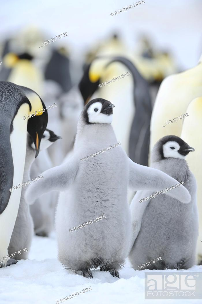 Stock Photo: Emperor penguins, Aptenodytes forsteri, Chick Spreading Wings, Snow Hill Island, Antartic Peninsula, Antarctica.