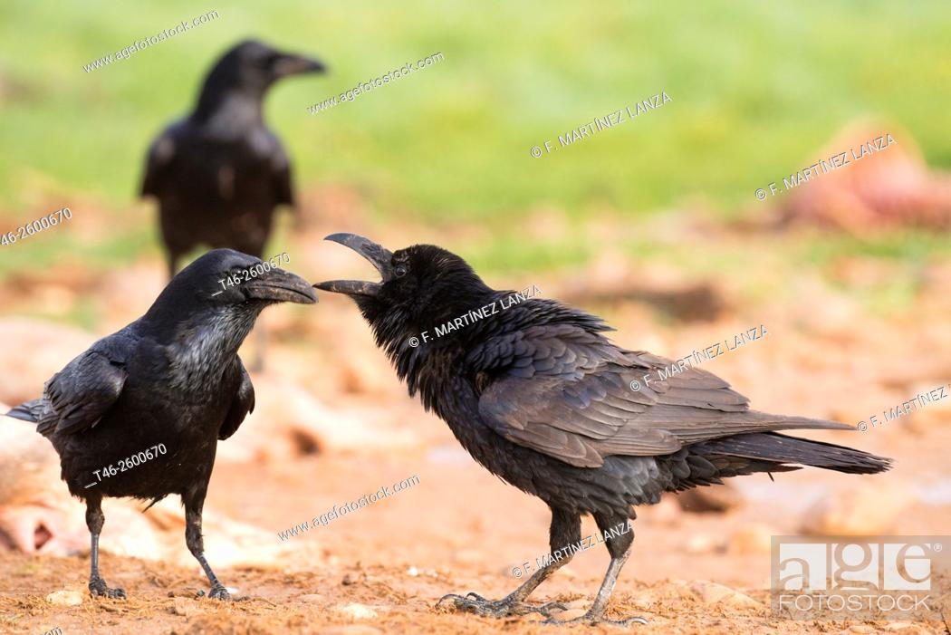 Stock Photo: Common Raven (Corvus corax). Campo de San Pedro, Segovia province, Castile-Leon, Spain.