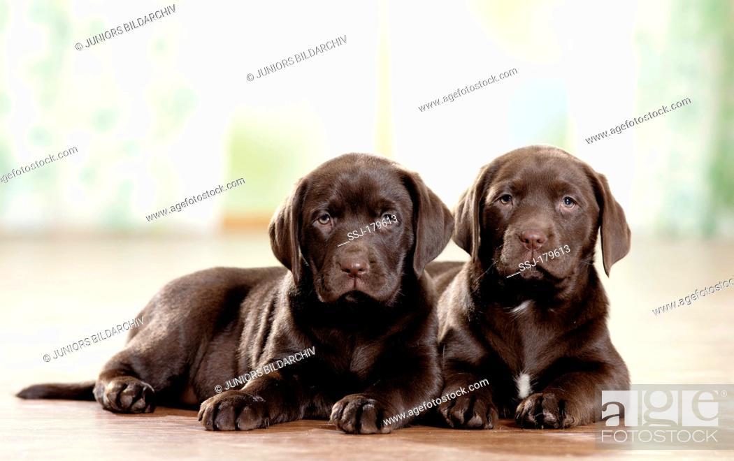 Stock Photo: Labrador Retriever. Two brown puppies lying on wood parquet.