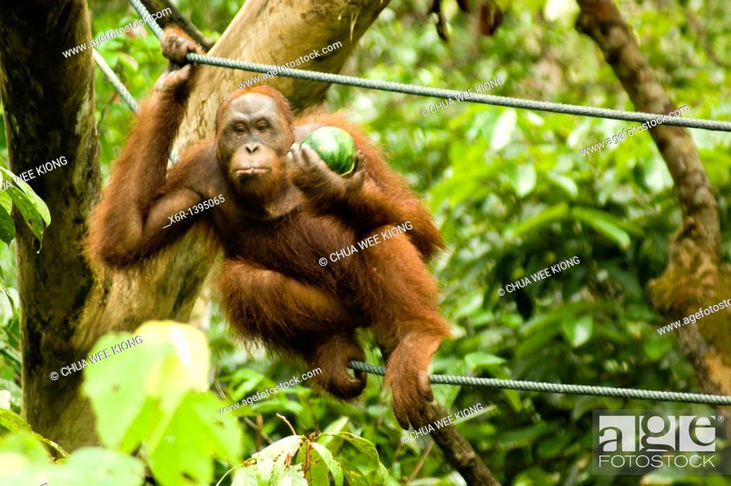 Stock Photo: Orang -Hutan of Borneo Sarawak Malaysia.