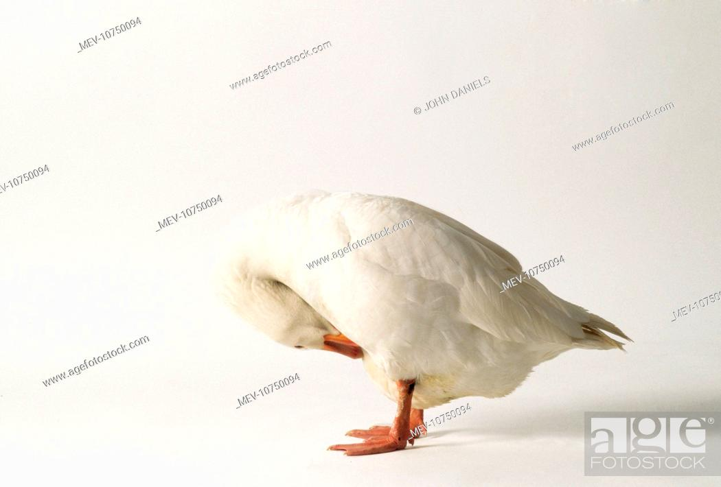 Stock Photo: ROMAN GOOSE - PREENING.