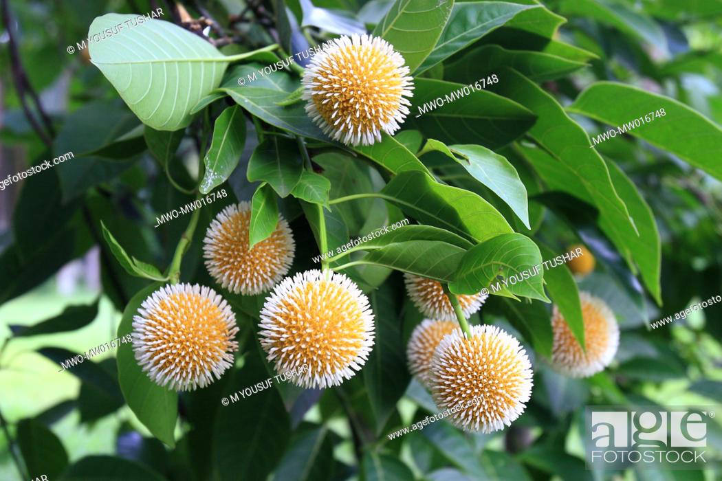 Stock Photo: The Kadam flower, Anthocephalus cadamba, bloom during the rainy season in Bangladesh August 18, 2007.
