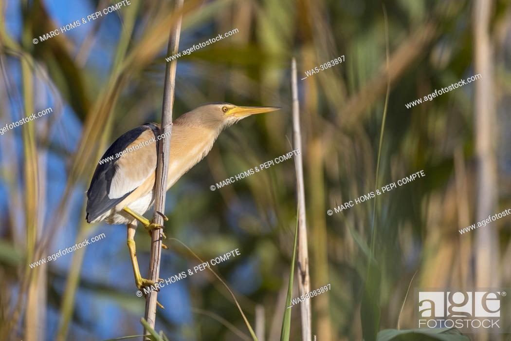 Stock Photo: Little bittern on a cane at the mouth of the river Fluvià, Catalonia Spain.