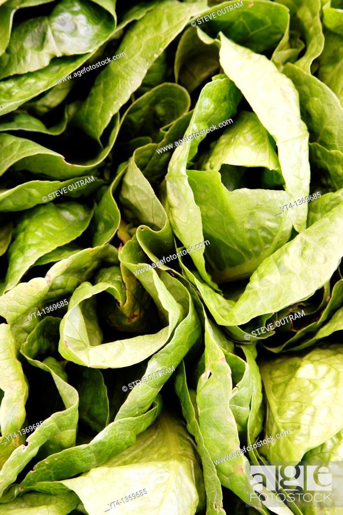 Stock Photo: Lots of fresh Lettuce.