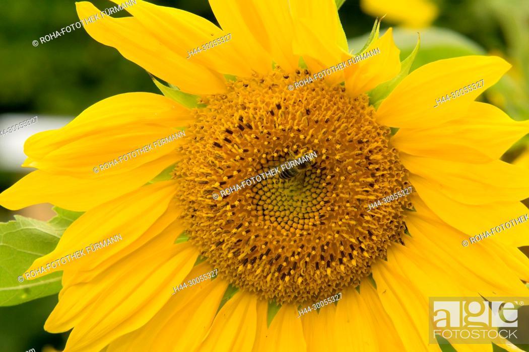 Stock Photo: Bayern, Oberbayern, Chiemgau, Wolkersdorf, Blume, Blumen, Bluete, Blüte, Blueten, Blüten, Hausgarten, Garten, Gartenblume, Gartenblumen, Hausgarten, Flora.