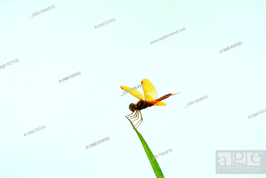 Stock Photo: Amberwing male, Perithemis sp., Libellulidae, Anisoptera, Odonata.