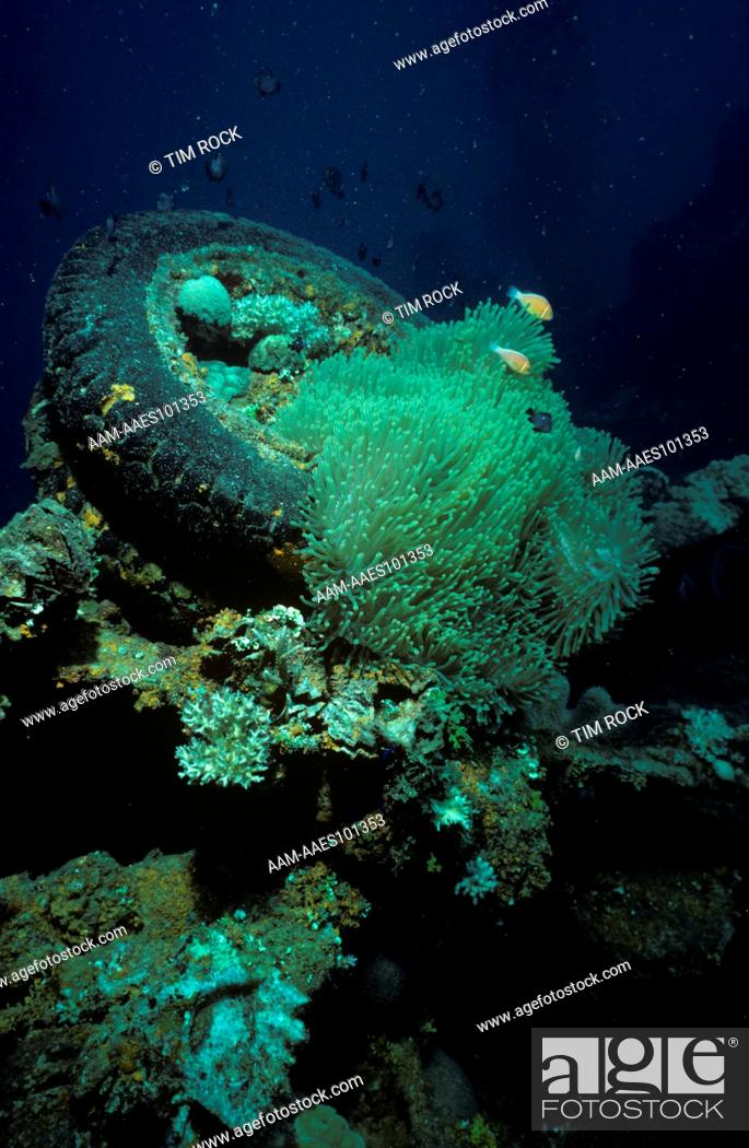 Stock Photo: Skunk Clownfish & Anemone with Tire on artificial Reef, Sankisan Maru, Truk (Amphiprion perideraion & Hateracta magnifica).