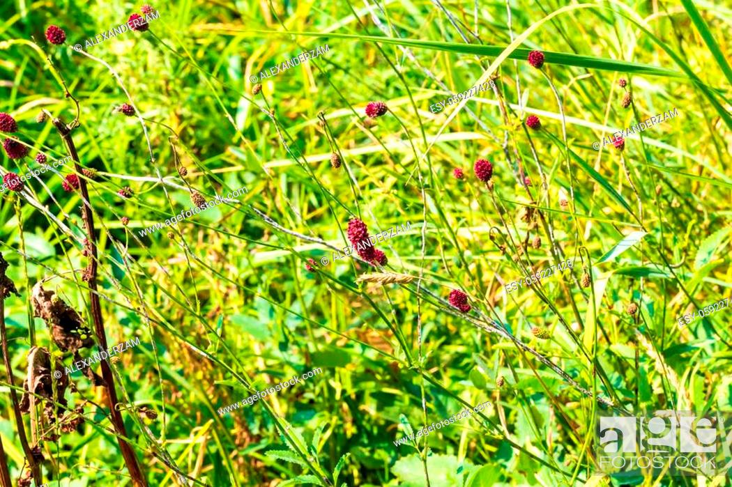 Stock Photo: Sanguisorba officinalis branches with red inflorescences.