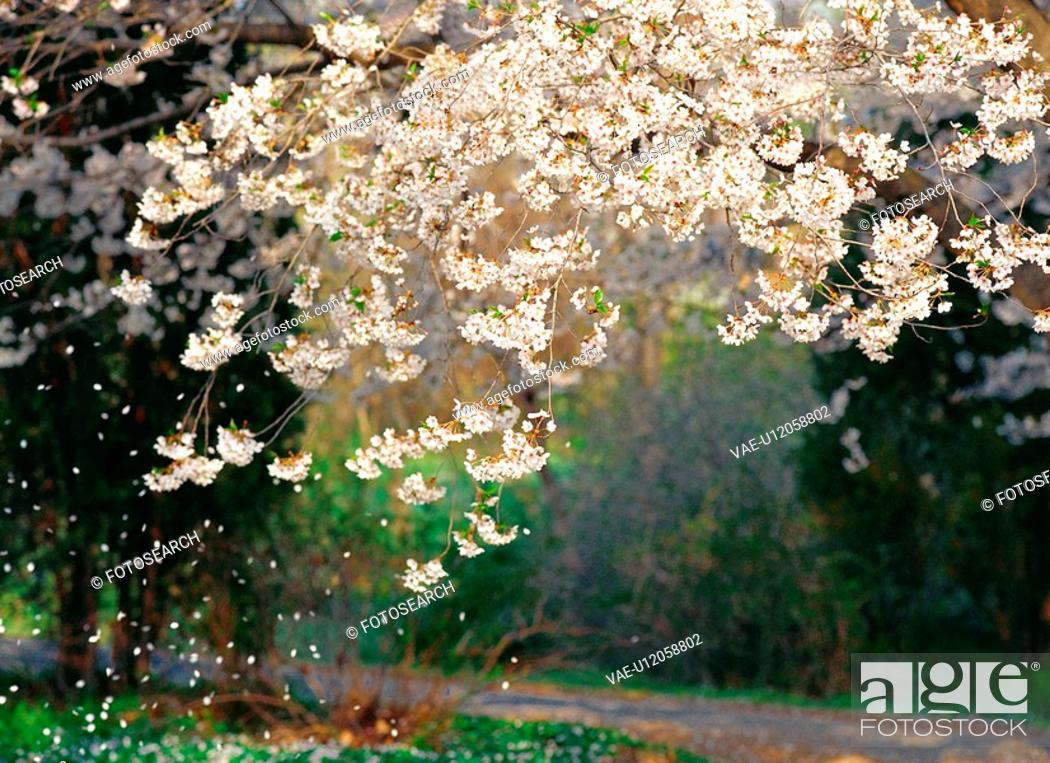 Stock Photo: cherryblossoms, spring, flower, plant, nature, film.