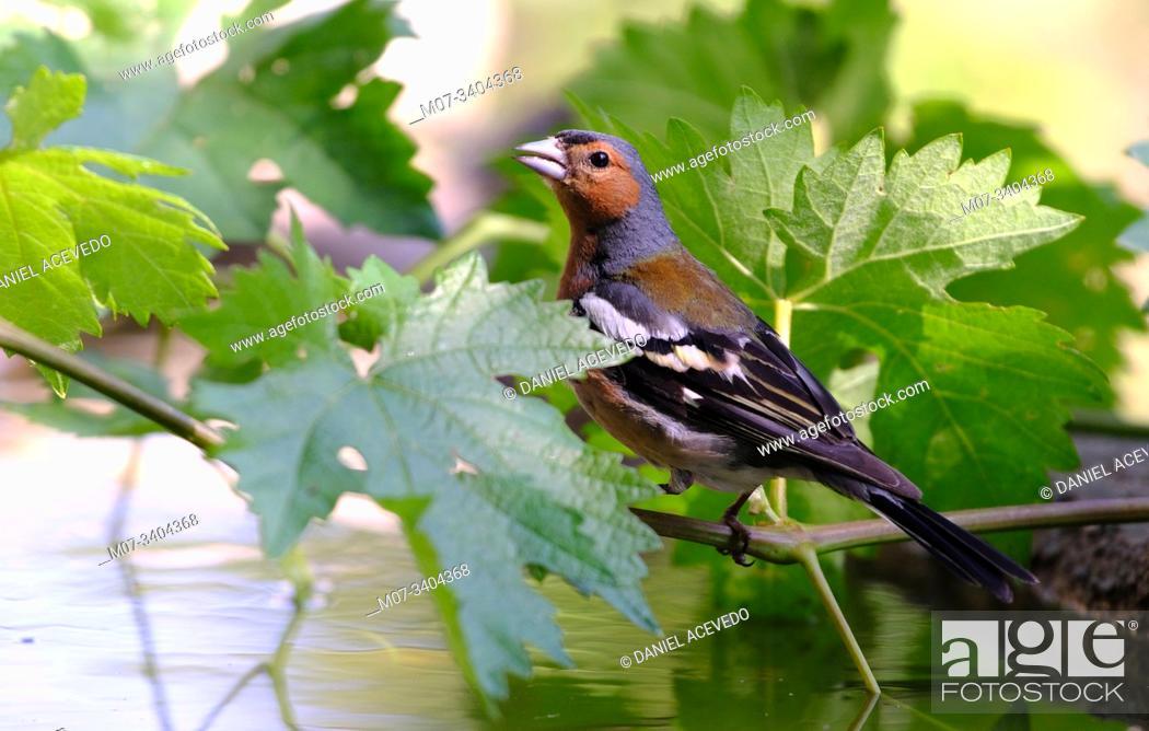 Imagen: common chaffinch (Fringilla coelebs) La Rioja, Spain.
