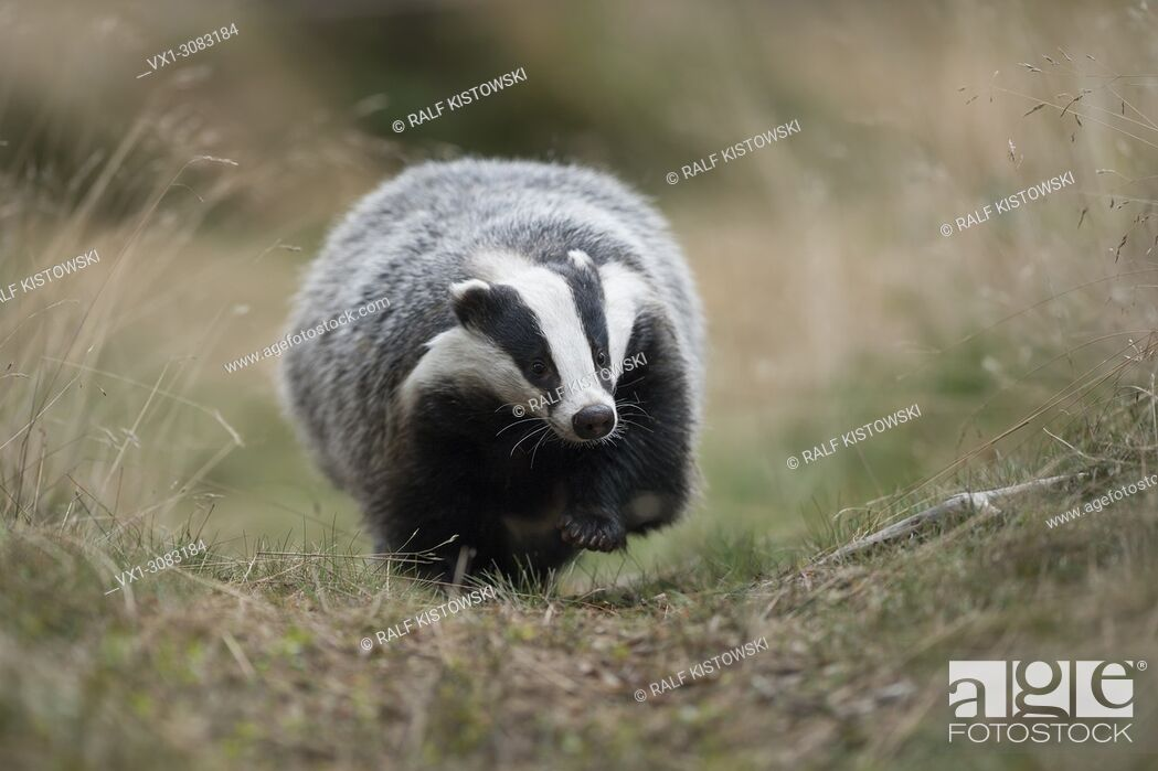 Stock Photo: European Badger ( Meles meles ), adult animal, walking along a typical badger's path, comes closer, frontal shot, Europe.