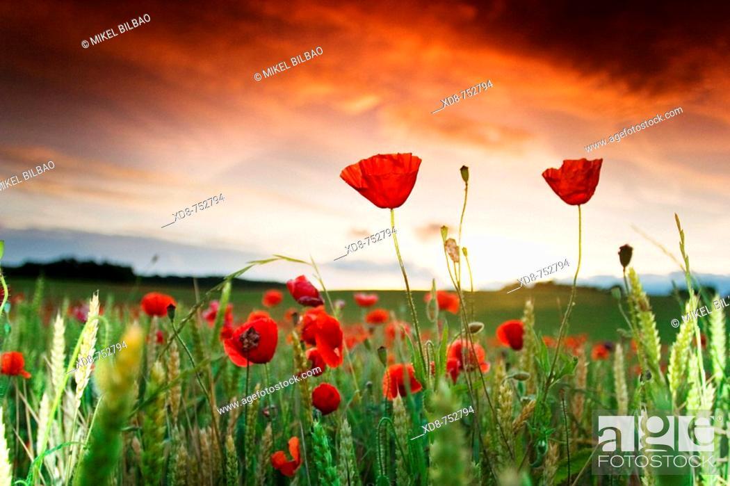 Stock Photo: Poppy (Papaver rhoeas) field at sunset.