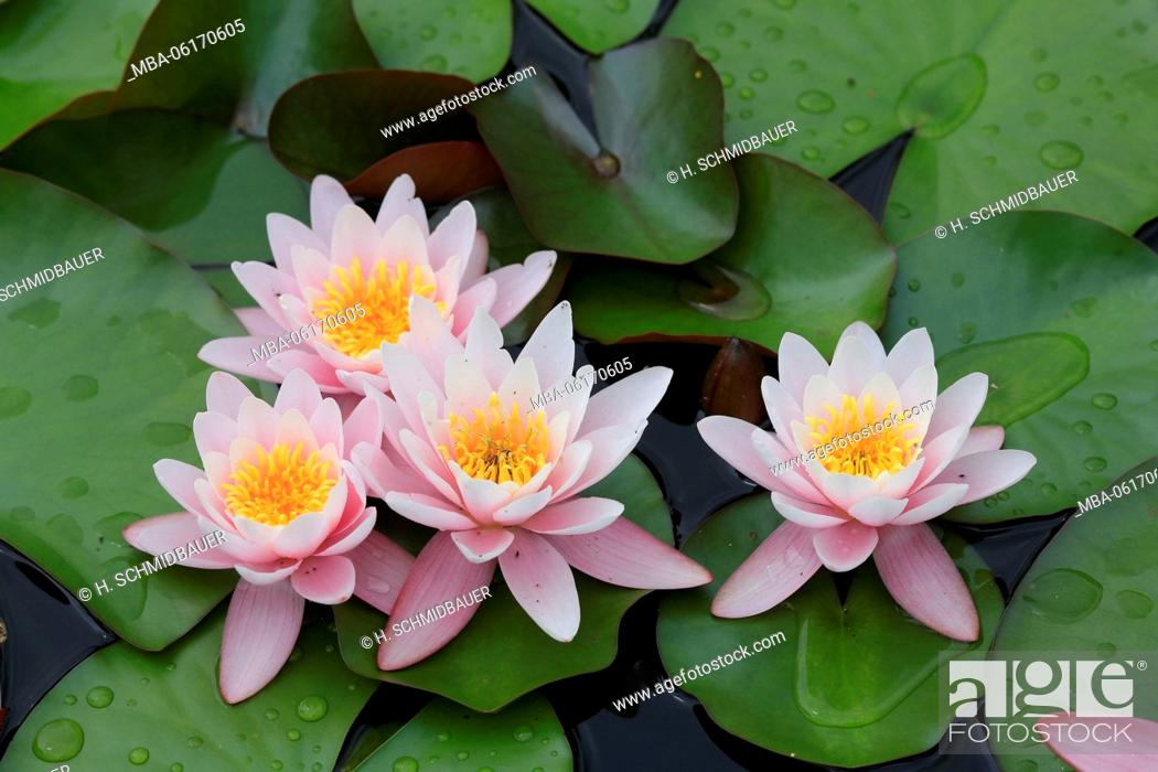 Stock Photo: Water lilies in water, Nymphaea.