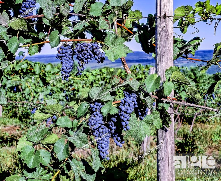 Imagen: Grapes ready for picking growing in vineyard in the Finger Lakes Region of New York State in the United States.
