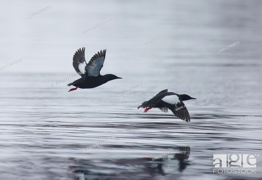 Stock Photo: Black Guillemot (Cepphus grylle), Svalbard, Norway.