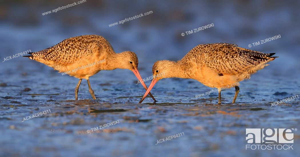 Stock Photo: Marbled Godwit at Esquimalt Lagoon during fall migration.