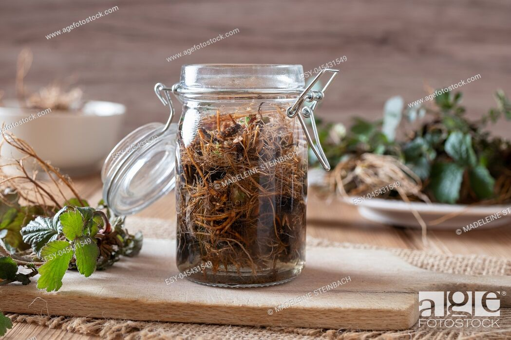 Stock Photo: Preparation of Herb Bennet tincture from fresh Geum urbanum roots.