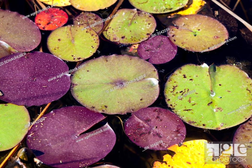 Stock Photo: Leaves of Water Lilies (Nymphaea).