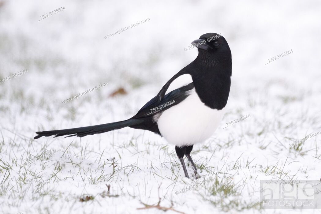 Stock Photo: A Magpie (Pica pica) feeds on a snow covered lawn, East Sussex, UK.