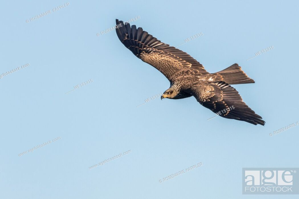 Stock Photo: A black kite in flight is searching for fodder.