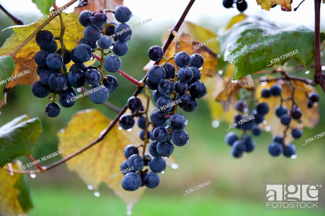 Stock Photo: Concord grapes, Lake Erie, Pennsylvania, USA.