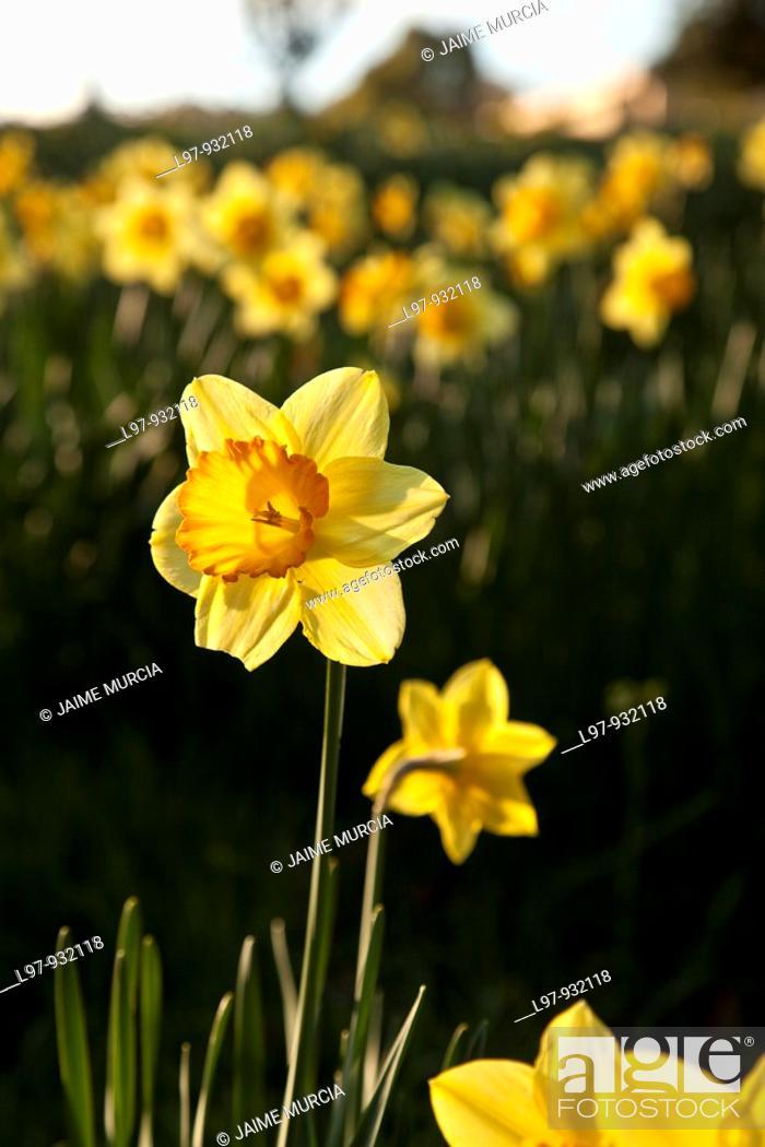 Stock Photo: Daffodil in field early morning sunrise.