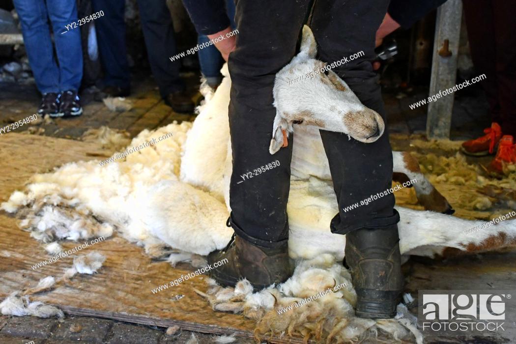 Stock Photo: Farmer Shearing Sheep, Snowdonia, Wales.