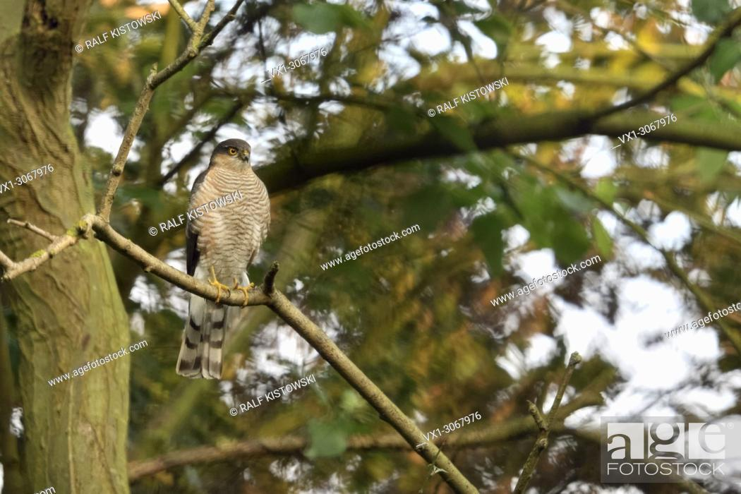 Stock Photo: Eurasian Sparrowhawk ( Accipiter nisus ), adult male, perched in a tree, watching attentively, hunting, wildlife, Europe.