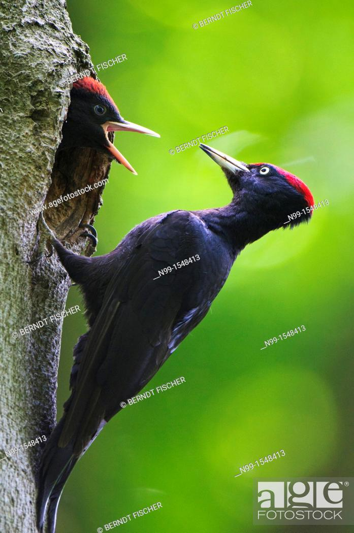 Stock Photo: Black woodpecker Dryocopus martius, adult sitting at the entrance of the cave, juvenile demanding for feeding, Bavaria.
