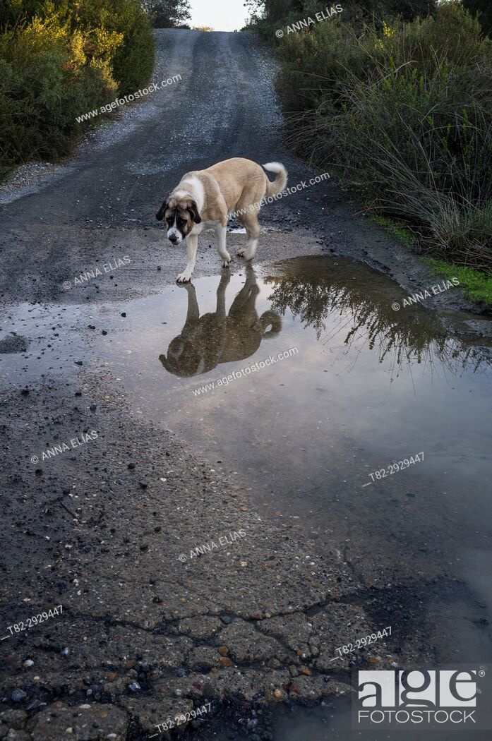 Stock Photo: Mastiff dog walking alone on a country road, Constantina, Seville province, Andalusia, Spain.